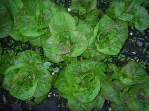 Lettuce grown