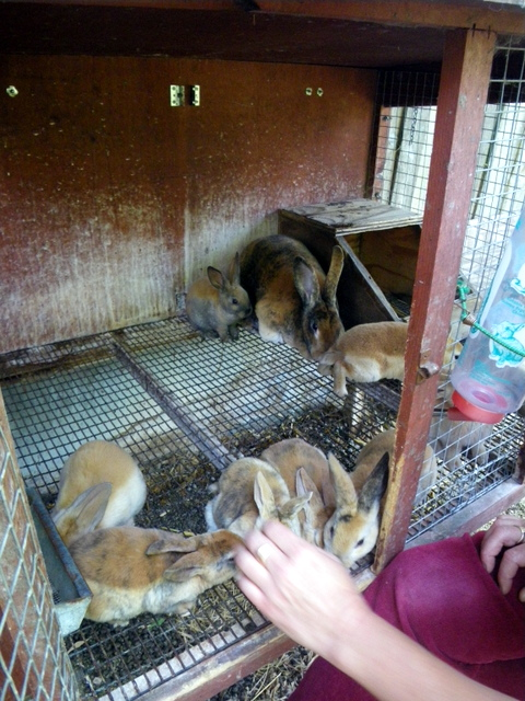 rabbits carefully grown for food