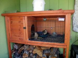 Quails for eggs