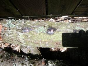 Oak logs for growing mushrooms