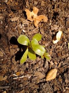 Portulca seedling