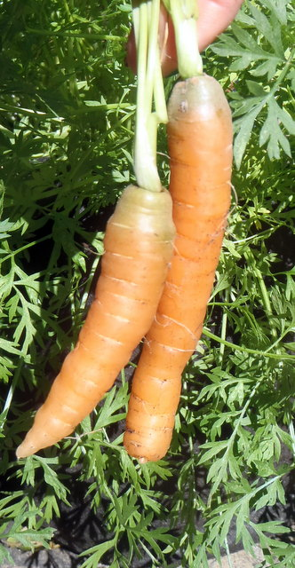 container grown carrots
