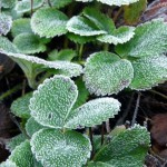 Frost on strawberry plant