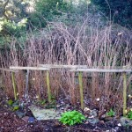 Unpruned raspberry canes