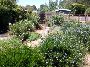 Manzanita and Ceanothus are easy to grow and use very little water