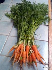 Carrots, Royal Chantenay
