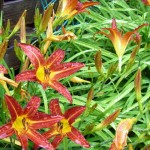 Hemerocallis - Edible flowers - look good and taste good
