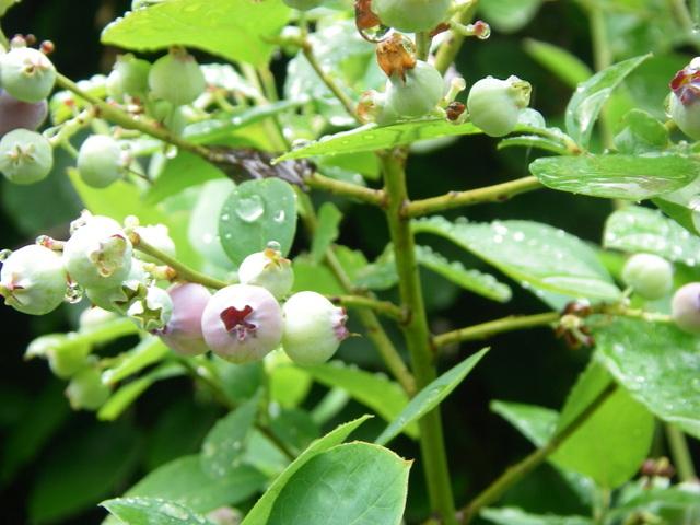Blueberries starting to ripen