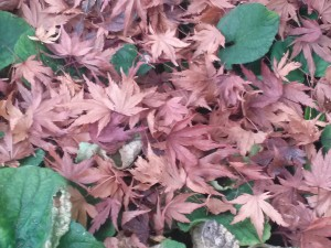 Japanese Maple leaves resting on the ground in the Fall.