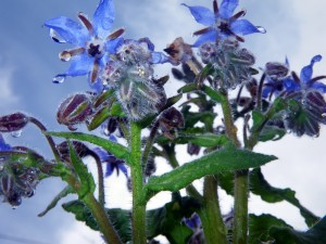 Borage in the rain