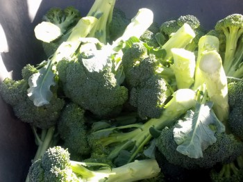 Gorgeous, beautiful broccoli, fresh from the farm to you
