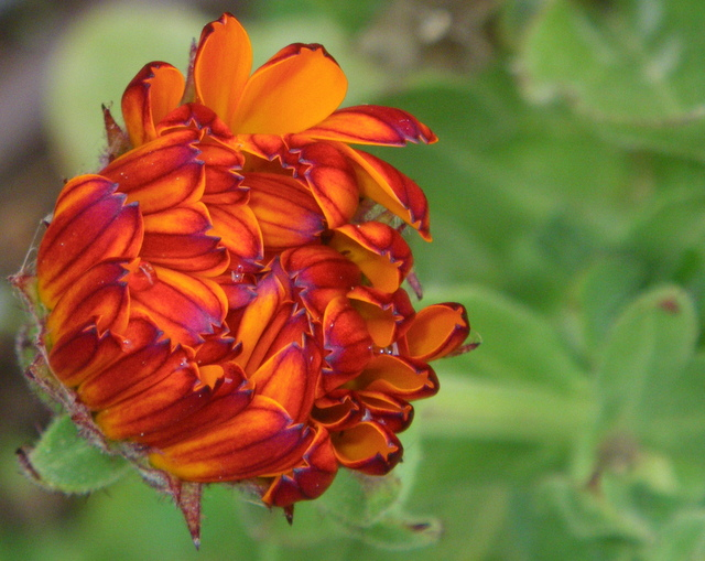 Edible flowers in early Spring bring beauty. Calendula is a powerful plant