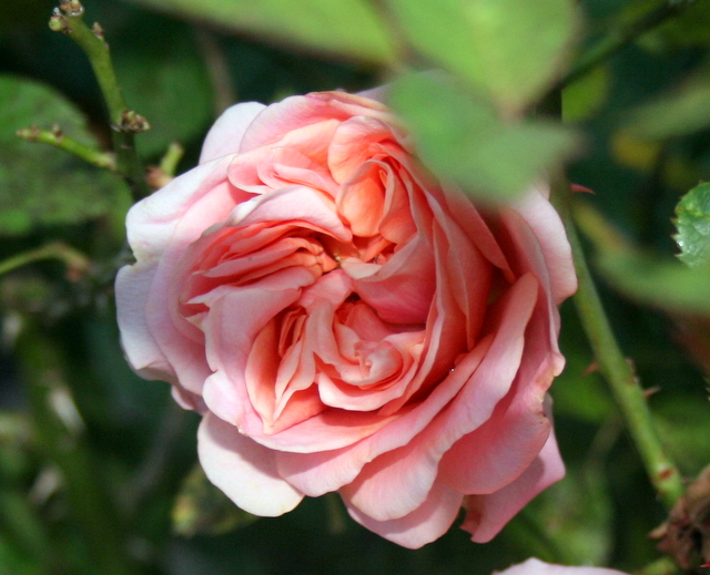 Get the right tools for pruning your roses
