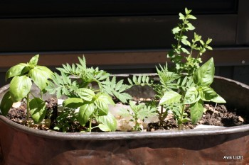 Growing herbs in a container near the house is easy and convenient.