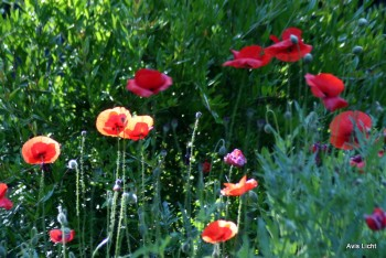 Red poppies in the morning sun.