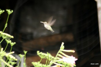 This hummingbird is going after the nicotiana