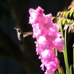 Hummingbirds in the Edible Landscaped Garden