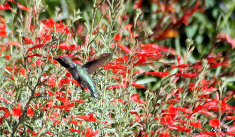 Hummingbird going for the nectar from Zauschneria californica, the California Fuschia
