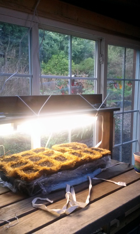 Seed sowing under lights