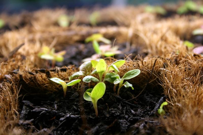 Lettuce seedlings under grow lights