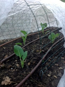 row cover and drip irrigation